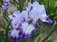 Kosatec bradatý 'Everything Plus' (Iris barbata elatior)