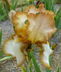 Kosatec bradatý 'Heather Hawk' (Iris barbata elatior)