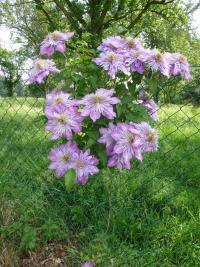 Clematis  'Crystal Fountain' - plamienok