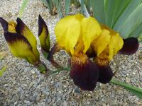 Iris barbata  'Black and Gold' - kosatec záhradný