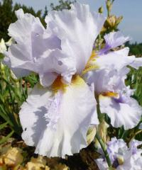 Kosatec bradatý 'Ice for Brice' (Iris barbata elatior)