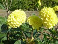 georgína Dahlia  'Yellow Symfonia'