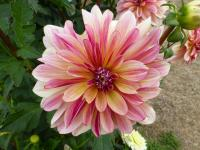 Dahlia        'Happy Butterfly'  georgína kvety