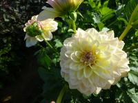 Dahlia  'Alloway Cottage' - georgína