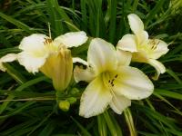 Hemerocallis  'Snowy Apparition' - ľaliovka
