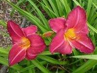 Hemerocallis  'Charles Johnston' - ľaliovka