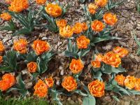 Tulipa  'Orange Princess' - tulipán