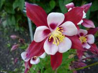 Orlíček 'Origami Red and White' - květ (Aquilegia hybridum)