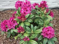 Rododendron (Rododendron)