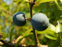 Blackthorn (Prunus spinosa - fruits)