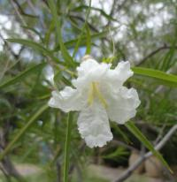 Chilopsis - bílý (Chilopsis linearis)