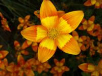 Bidens orange yellow