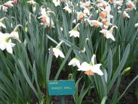 Narcis Well (Narcissus x hybridus)