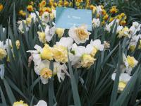 Narcis Wave (Narcissus x hybridus)