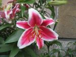 Lilium x hybridum              'After Eight'  ľalia kvety