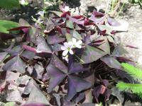 (Oxalis triangularis) Šťavel trojhranný