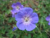 Kakost 'Jolly Bee' (Geranium)