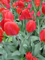 Tulipa     'Red Revival'  tulipán kvety