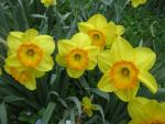 Narcis 'Delibes' (Narcissus x hybridus)