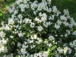 Rhododendron  'Cunninghams White' - rododendron