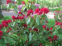 Rhododendron  'Lagerfeuer' - rododendron