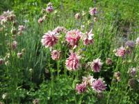 Orlíček 'Tower Light Pink' (Aquilegia)
