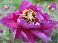 Paeonia suffruticosa  'Duchess of Marlborough' - pivonka polokrovitá