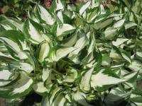 Hosta  'Fire and Ice' - funkia