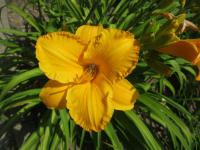 Hemerocallis 'By Myself'  ľaliovka kvety