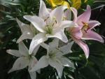 Lilium x hybridum     'Party Diamond'  ľalia kvety