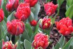 Tulipa   'Red Princess'  tulipán kvety