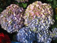 Hortenzie velkolistá 'Magical Four Seasons' (Hydrangea macrophylla)