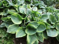 Hosta   'Fool's Gold' - funkia
