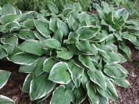 Bohyška Green Gold (Hosta kultivary)