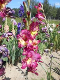 Gladiolus   'Far West'  mečík kvety