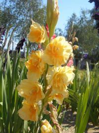 Gladiolus  'Morning Gold' - mečík