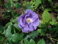 Rosa  'Rhapsody in Blue' - ruža