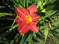 Hemerocallis hybrida 'Little Red Hen'  ľaliovka kvety