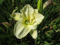 Denivka White Temptation (Hemerocallis hybrida)