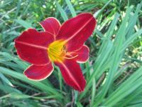 Denivka Spanish Brocade (Hemerocallis hybrida)