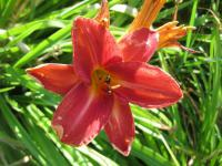 Denivka Robert (Hemerocallis hybrida)