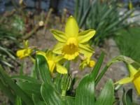 Narcissus      'Tete a Tete'  narcis kvety