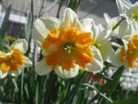 Narcissus  'Parissienne' - narcis