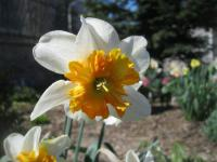 Narcissus      'Parissienne'  narcis kvety