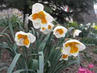 Narcissus  'Tricollet' - narcis