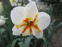 Narcissus  'Sorbet' - narcis