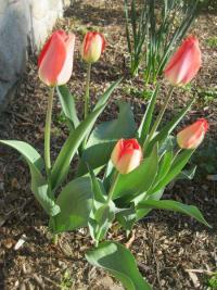 Tulipa 'Big Chief'  tulipán rastlina