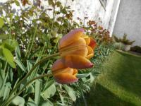 Tulipa  'Brown Sugar' - tulipán