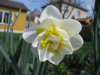 Narcissus   'White Lion'  narcis kvety