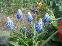 Muscari aucheri  'Ocean Magic'  modrica Aucherova rastlina